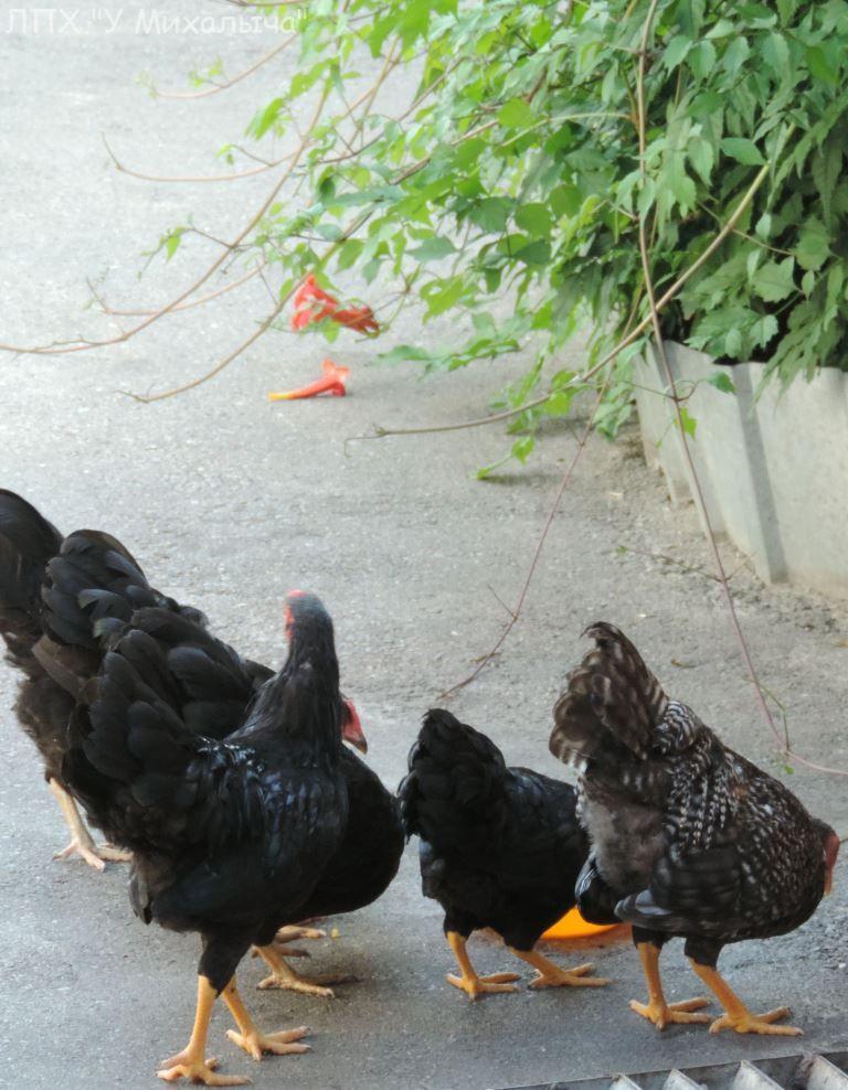 Карликовая дрезденская порода кур, Dresden bantam chickens Sa-29011