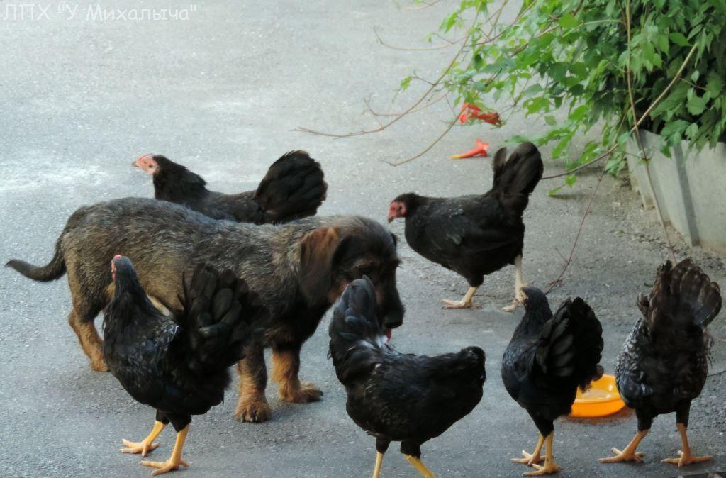 Карликовая дрезденская порода кур, Dresden bantam chickens Saa-0110
