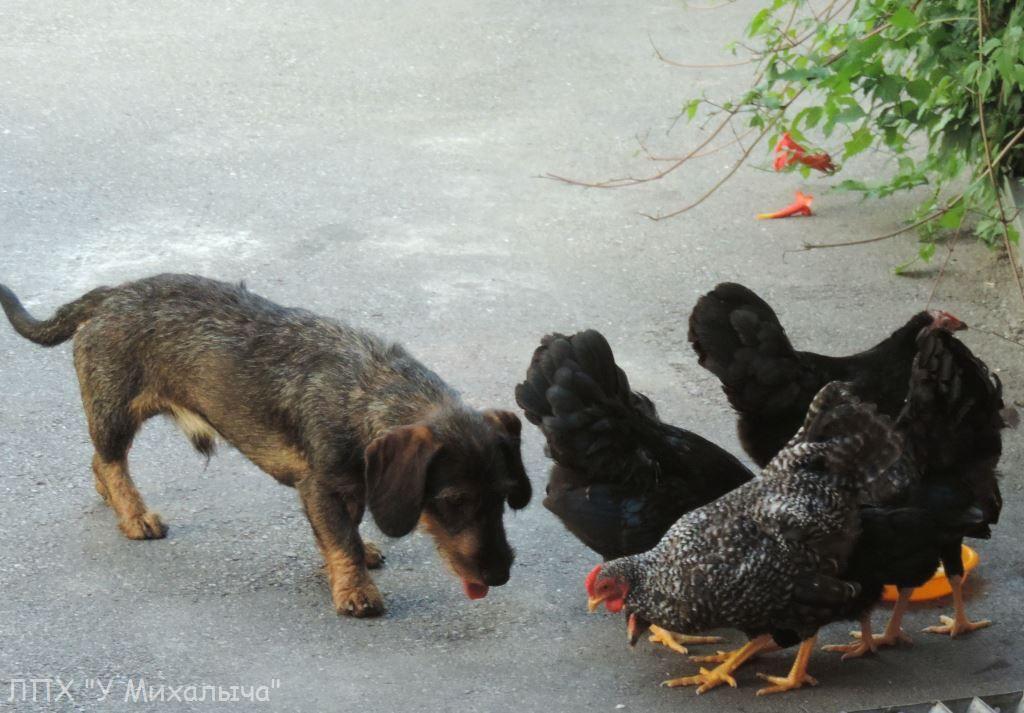 Карликовая дрезденская порода кур, Dresden bantam chickens Saa-0210