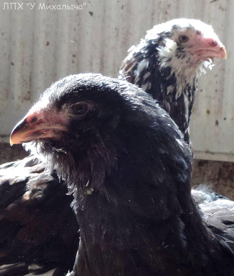 Гилянская порода кур, Gilan breed chickens - Страница 7 Su-01010