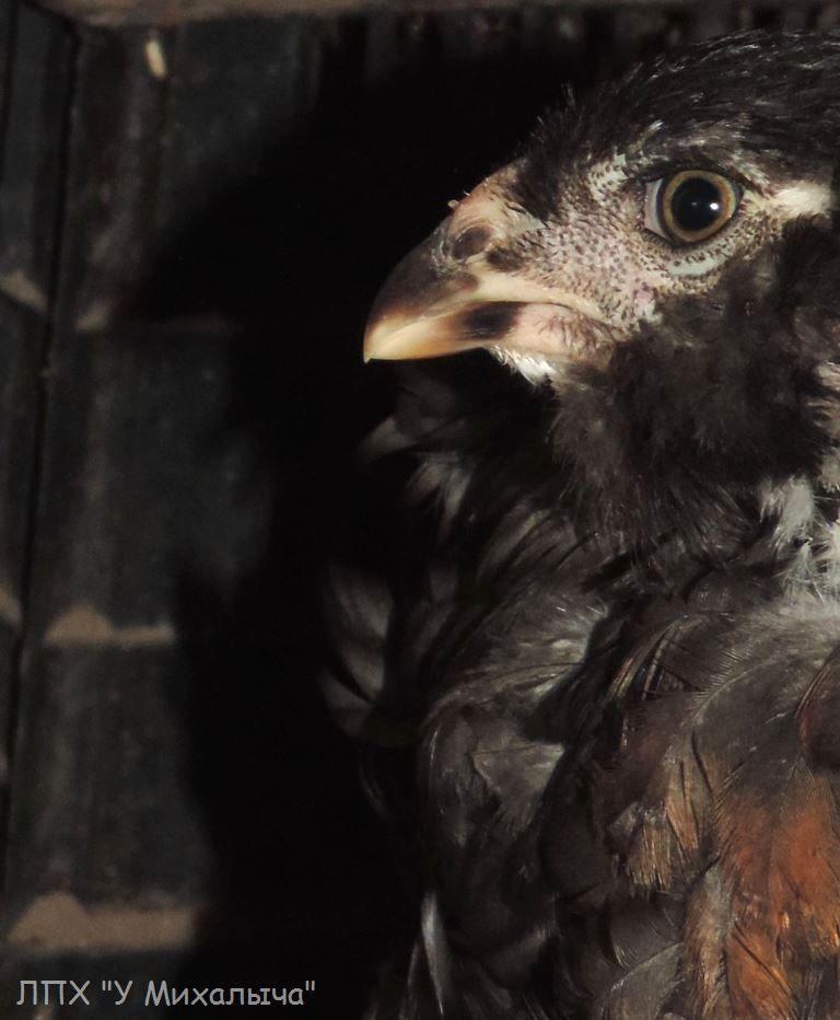Гилянская порода кур, Gilan breed chickens - Страница 7 Su-07010