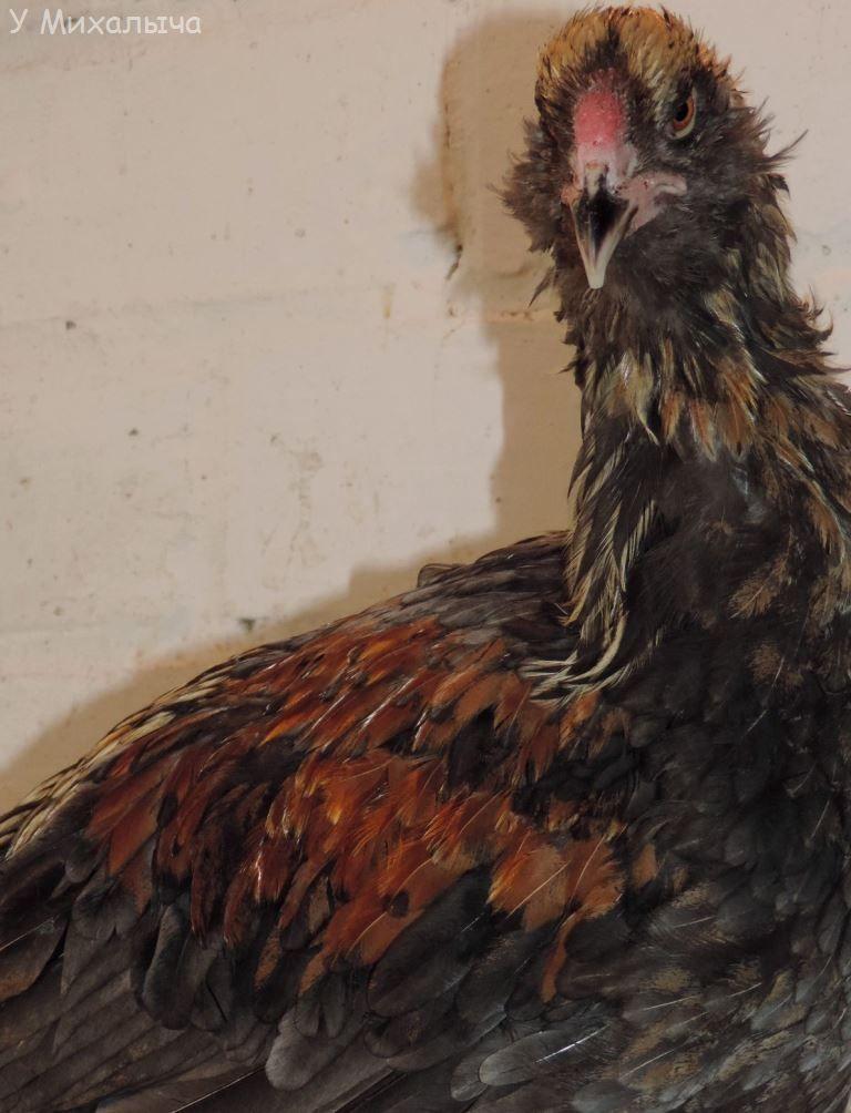 Гилянская порода кур, Gilan breed chickens - Страница 7 Su-19011