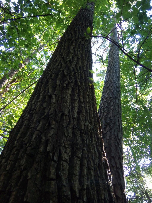 C'est l'hecatombe dans les forêts! Orme11