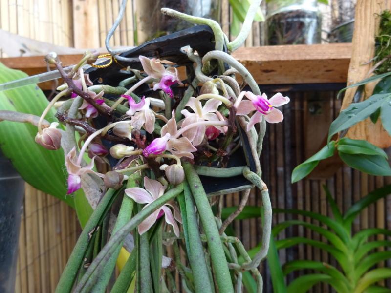 Orchideen-Neuzugang 2 - Seite 33 Dsc02712