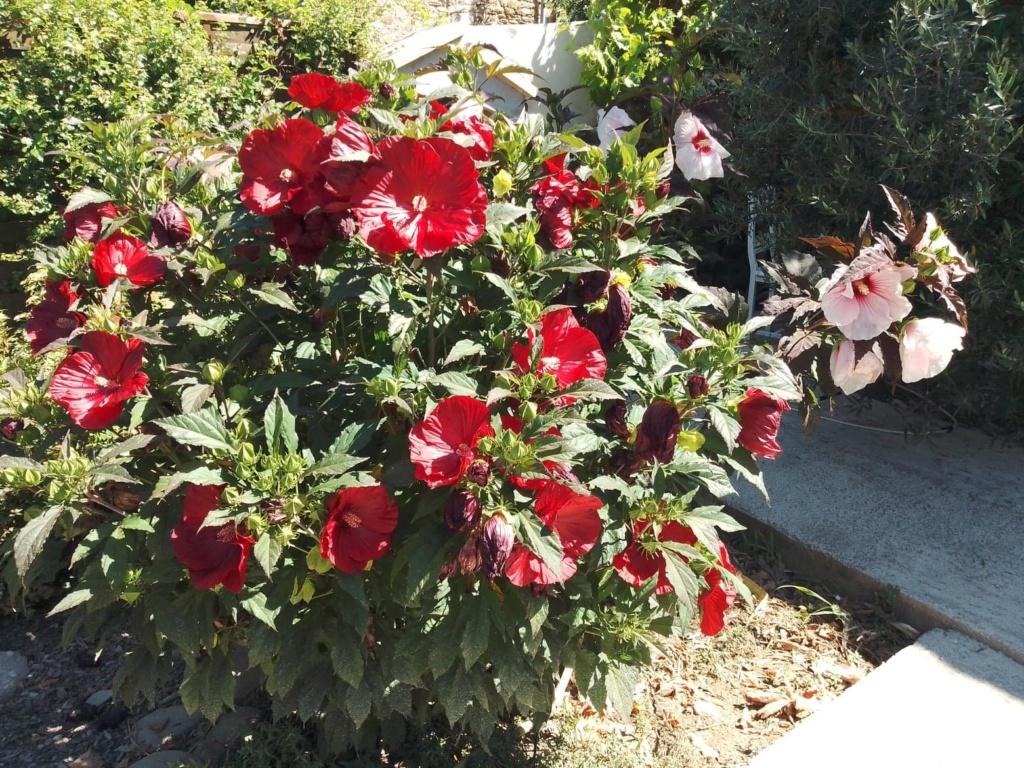 Hibiscus moscheutos - Page 4 10950710