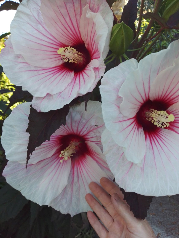 Hibiscus moscheutos - Page 4 10963510