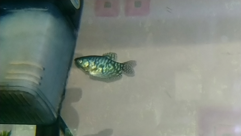 Gourami bleu mâle ou femmelle  Dsc_0733