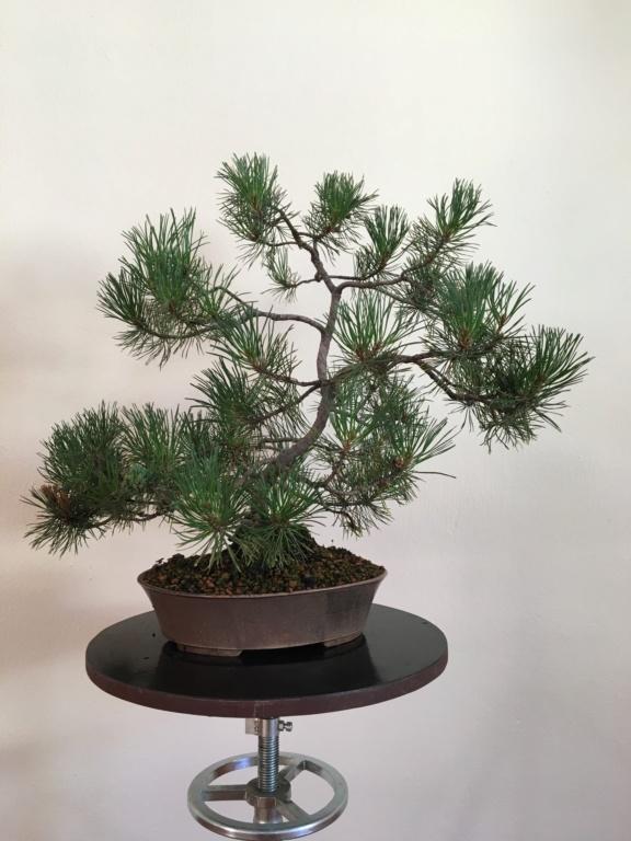 Pine identification needed Borovi10