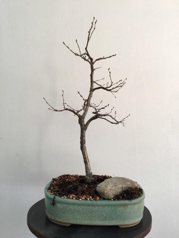 Birch from seed Bzyza_13