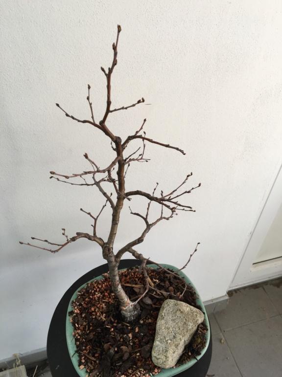 Birch from seed Bzyza_14
