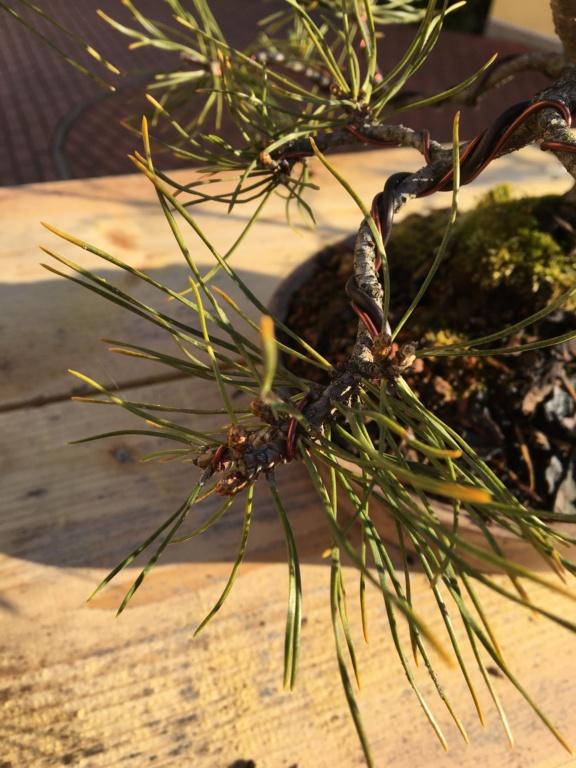 Pine identification needed Img_0212