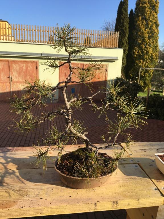 Pine identification needed Img_0213