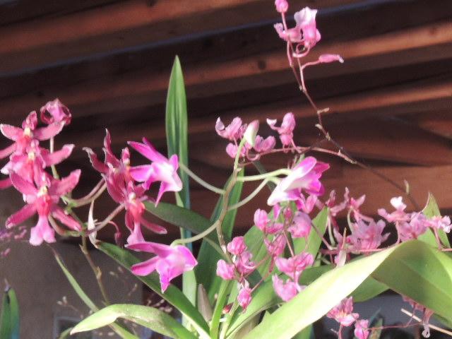 Les orchidées - Page 35 Dscn0218