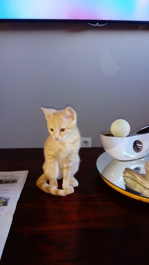 Obi, chaton européen, de couleur crème né le 10/09/2018 48387010