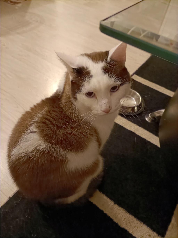 INVICTUS, chat européen marron&blanc, né en 2013, en FA longue durée Img20213