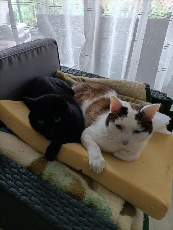 INVICTUS, chat européen marron&blanc, né en 2013, en FA longue durée Img20214