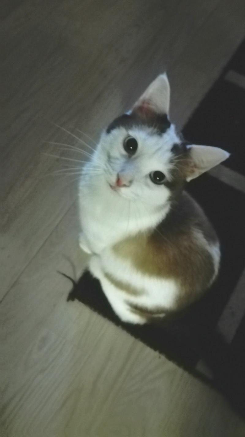 INVICTUS, chat européen marron&blanc, né en 2013, en FA longue durée Img_2067