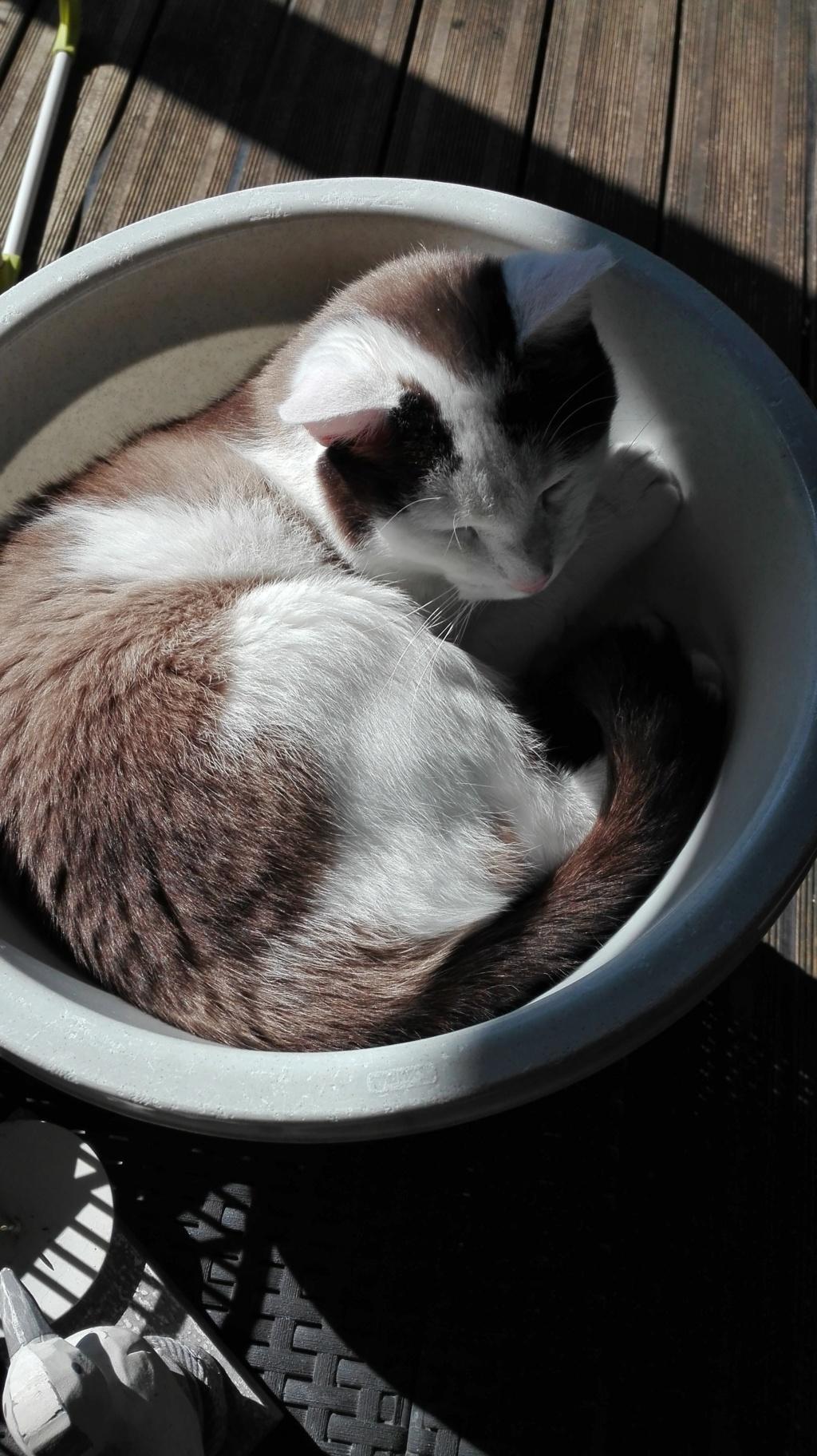 INVICTUS, chat européen marron&blanc, né en 2013, en FA longue durée Img_2130