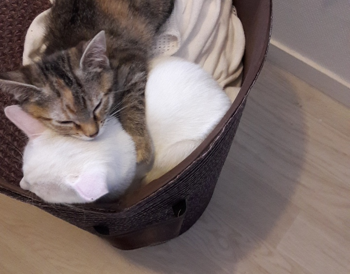 ORIA, chatonne européenne marron tabby, née le 20/05/18 20180812
