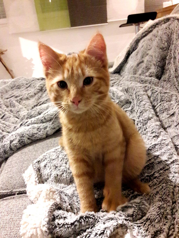 OEDIPE, mâle roux tigré, né le 4 septembre 2018 20190111