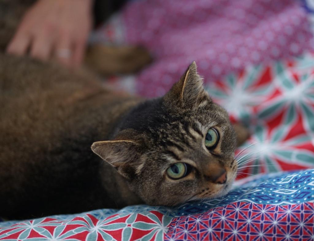 EPHIRA, femelle tigrée, type européen, née en décembre 2009 Dsc04715