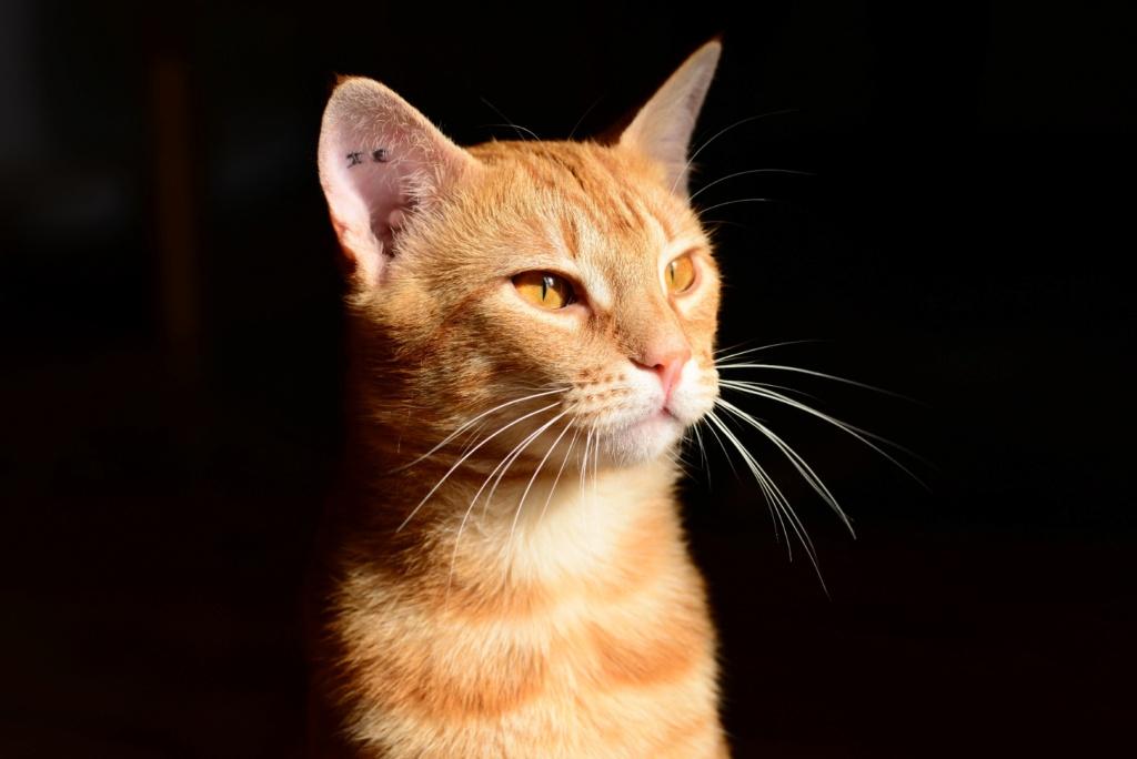 RACK, mâle roux tigré de type européen, né le 15/05/2020 Dsc_0713