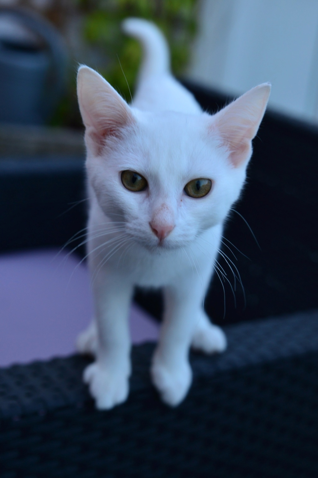 OUSTI, mâle blanc, type chat de maison, né début avril 2018 Dsc_5511