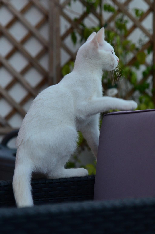 OUSTI, mâle blanc, type chat de maison, né début avril 2018 Dsc_5512