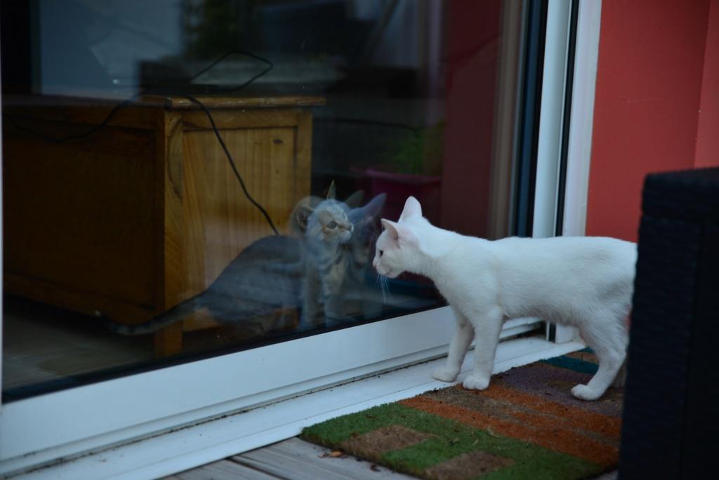 OUSTI, mâle blanc, type chat de maison, né début avril 2018 Dsc_5516