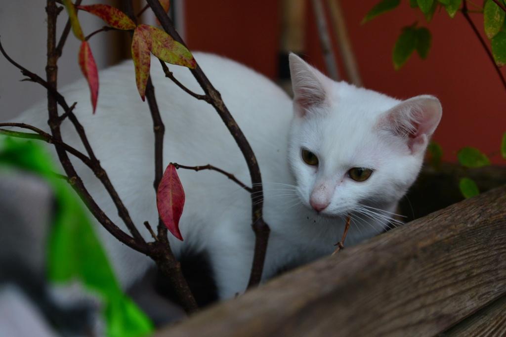 OUSTI, mâle blanc, type chat de maison, né début avril 2018 Dsc_5517