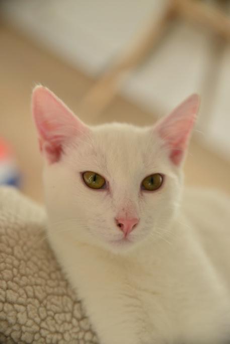 OUSTI, mâle blanc, type chat de maison, né début avril 2018 Dsc_6012
