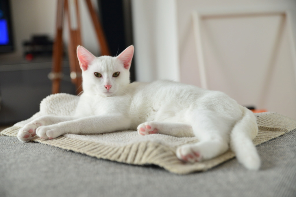 OUSTI, mâle blanc, type chat de maison, né début avril 2018 Dsc_6013