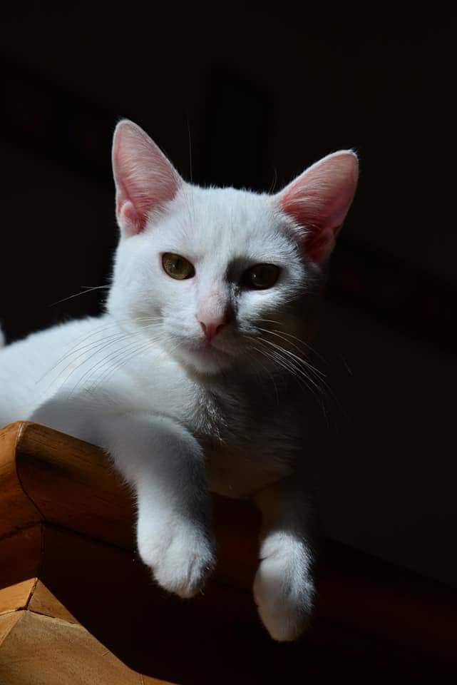 OUSTI, mâle blanc, type chat de maison, né début avril 2018 Fb_img10