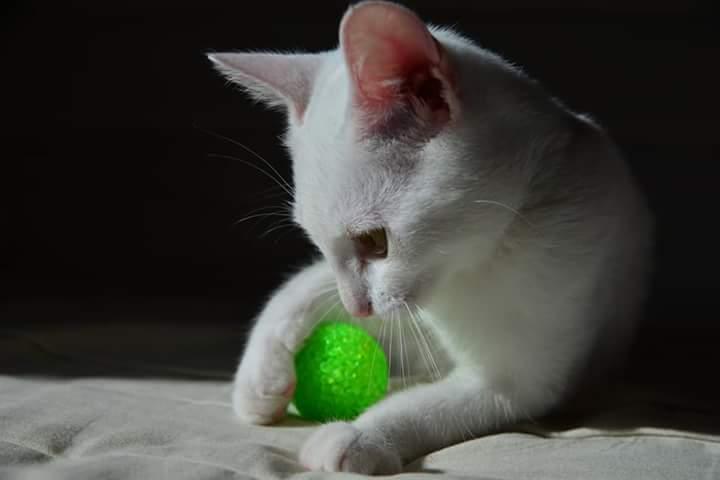 OUSTI, mâle blanc, type chat de maison, né début avril 2018 Fb_img11