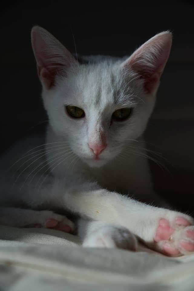 OUSTI, mâle blanc, type chat de maison, né début avril 2018 Fb_img13
