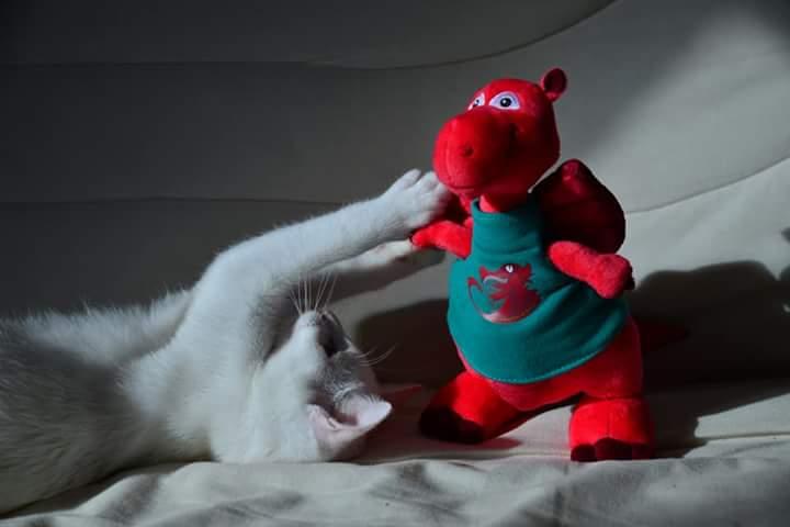 OUSTI, mâle blanc, type chat de maison, né début avril 2018 Fb_img14