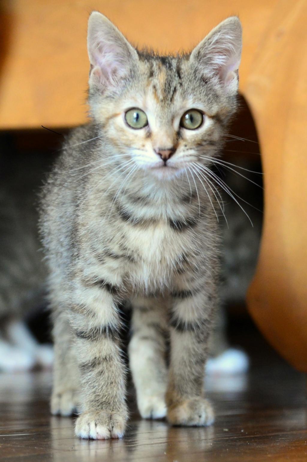 ORIA, chatonne européenne marron tabby, née le 20/05/18 Oria510