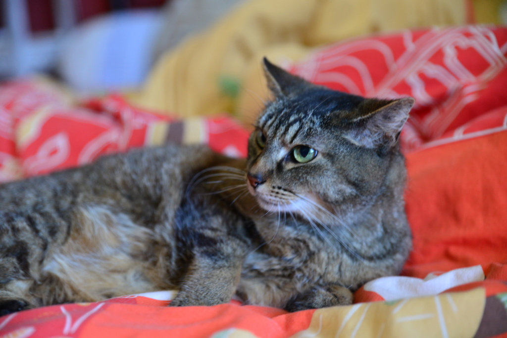 EPHIRA, femelle tigrée, type européen, née en décembre 2009 Regard10