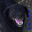 SERBIE - chiens prêts à rentrer (refuge de Bella et pensions) Artho11
