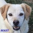 SERBIE - chiens prêts à rentrer (refuge de Bella et pensions) Beket10
