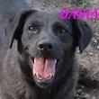 SERBIE - chiens prêts à rentrer (refuge de Bella et pensions) Daria10