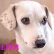 SERBIE - chiens prêts à rentrer (refuge de Bella et pensions) Lyra10