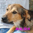SERBIE - chiens prêts à rentrer (refuge de Bella et pensions) Malika10