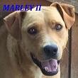 SERBIE - chiens prêts à rentrer (refuge de Bella et pensions) Marley10