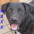 SERBIE - chiens prêts à rentrer (refuge de Bella et pensions) Maxx10