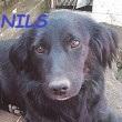 SERBIE - chiens prêts à rentrer (refuge de Bella et pensions) Nils10