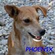 SERBIE - chiens prêts à rentrer (refuge de Bella et pensions) Phoeni10