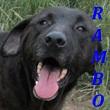 SERBIE - chiens prêts à rentrer (refuge de Bella et pensions) Rambo10