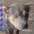 SERBIE - chiens prêts à rentrer (refuge de Bella et pensions) Skakac10