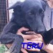 SERBIE - chiens prêts à rentrer (refuge de Bella et pensions) Teru1010